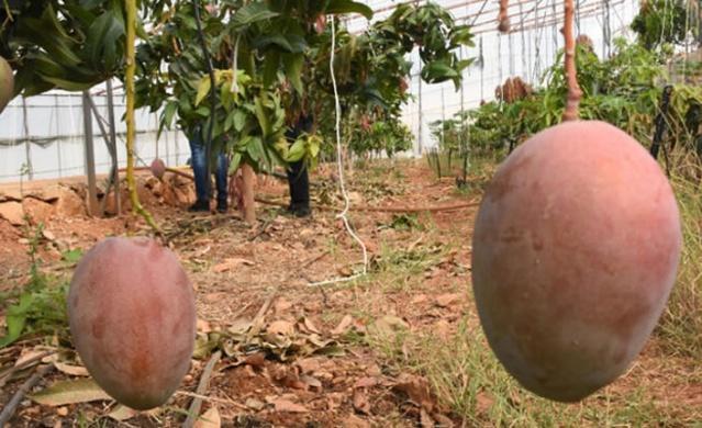 Antalya'nın Gazipaşa ve Alanya ilçelerinde ürün çeşitlendirilmesi amacıyla avokadonun ardından üretimine geçilenmango da üreticinin yüzünü güldürmeye başladı.  Tropikal meyve yetiştiriciliğinin son yıllarda arttığı Alanya ve Gazipaşa ilçelerinde, muz ve avokadonun önemli bir ticari değere ulaşması, çiftçileri bir başka tropikal ürün olan mangoya yönlendirdi.  Tanesi 50 liraya kadar alıcı bulan mangoya bölgedeki yabancılar kadar yerli halk da ilgi gösteriyor. Lezzeti ve aroması daha iyi olduğu için ithaline göre daha çok tercih edilen yerli mangonun üretim alanı da her geçen yıl artıyor.