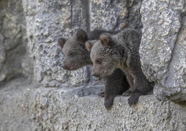 Mersin'de Tarsus Doğa Parkı'nda dünyaya gelen, 'Fıstık' ve 'Doğa' ismi verilen iki küçük boz ayı yavrusu, parkın maskotu oldu.