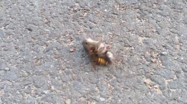 Dakikalarca kurtulmaya çalıştı ancak nafile! Eşek arısının fare avı dehşete düşürdü...