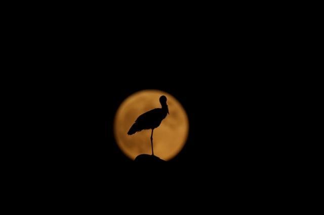Bingöl'de akşam saatlerinde ortaya çıkan dolunay ile bir leyleğin silüeti güzel görüntü oluşturdu.