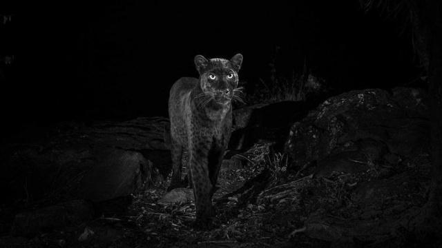 Nesli tükenen hayvanlar arasında kırmızı listede bulunan siyah leopar 100 yıl aradan sonra ilk kez Will Burrard-Lucas isimli bir fotoğrafçı çekmeyi başardı.