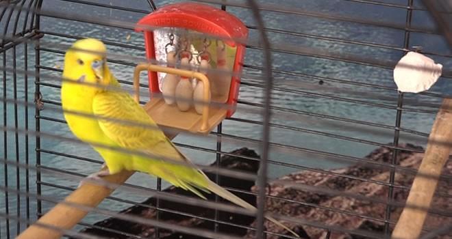 Sokakta bulduğu muhabbet kuşunun öyle bir özelliği var ki...