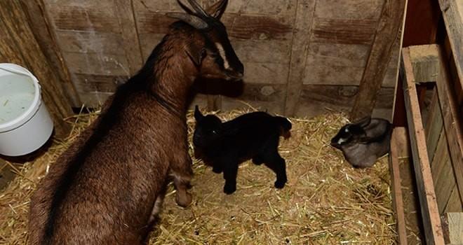 1 midilli at ve 2 keçi yavrusu dünyaya geldi!