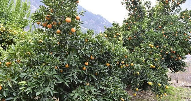 Başkan Erkoç'tan naranciye bahçelerine inceleme