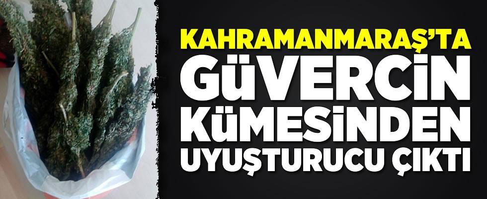 Kahramanmaraş'ta güvercin kümesinden uyuşturucu çıktı