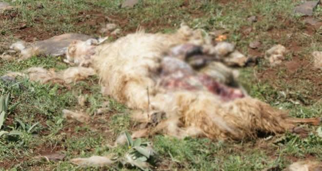 Şanlıurfa'da koyun sürüsüne saldırıp paramparça ettiler!
