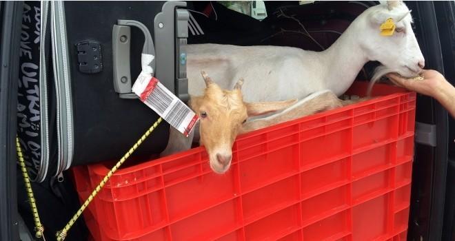 İnanılır gibi değil! Yanından ayıramadığı keçileriyle tatile çıktı!
