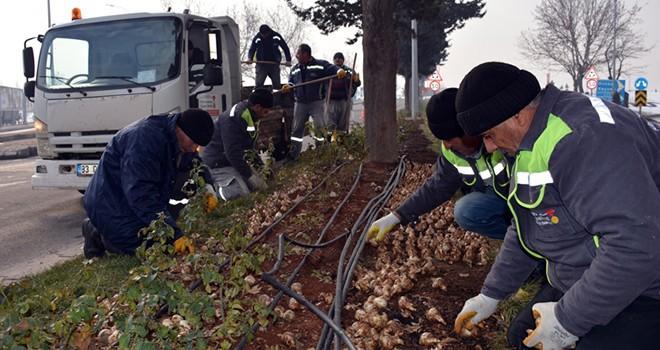 Kahramanmaraş'ta milyonlarca çiçek toprakla buluştu