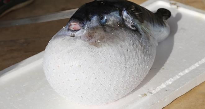 Balıkçılar tarafından 160 metre derinlikte yakalandı