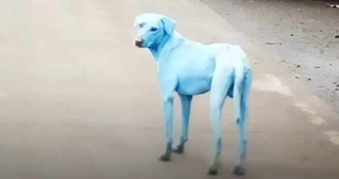 Mavi köpek şoku! Giderek artıyor