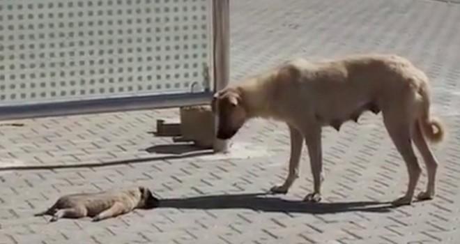 Kahramanmaraş'ta anne köpek ölen yavrusunun başından ayrılmadı