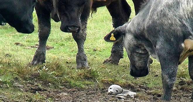 30 inek aynı yere bakınca gerçek anlaşıldı
