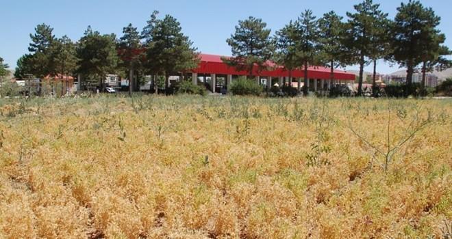 Afşin'de yazlık mercimek türleri yetiştirildi