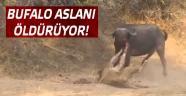 Bufalo Ormanlar Kralı Aslanı öldürüyor!