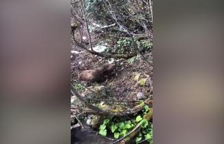 Artvin'de yavru ayıyı vurup, köpeklere parçalatan zanlı yakalandı