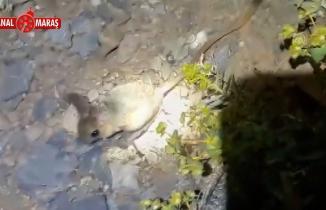 Kahramanmaraş'ta Arap tavşanı görüldü