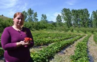 Çilek bahçesi kurdu: Siparişlere yetişemiyor