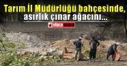 Tarım İl Müdürlüğü bahçesinde asırlık çınar ağacı...
