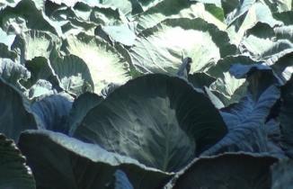Kahramanmaraş'ın dev lahanaları görenlerin ilgisini çekiyor