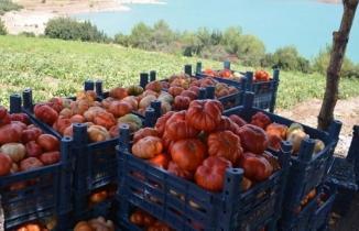 Dede yadigarı tohumlardan yetişen ''Bulanık domatesi'' üreticisini sevindiriyor