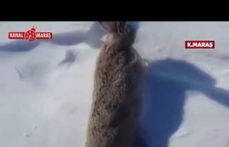 Kahramanmaraş'ta bir şahıs tavşana yaptığı eziyeti, sosyal medyadan paylaştı!