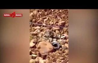 Kahramanmaraş'ta yılanların çiftleşmesi kameraya yansıdı!