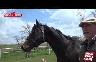 Kahramanmaraş'tan 'Şampiyonaya' yarış atları yetiştiriyor
