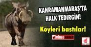 K.Maraş'ta Domuzlar Köyleri Bastılar!