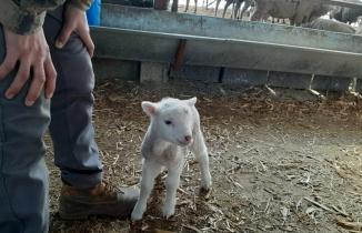 Yeni doğan kuzunun melemesini duyan şaştı kaldı