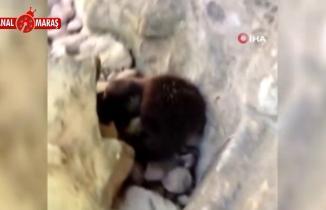 Yer: Kahramanmaraş! Nesli tükenme tehlikesi altındaki su samuru görüntülendi