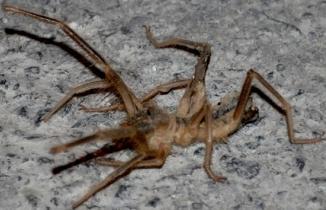 Kahramanmaraş'ta 'Sarıkız' örümcek alarmı